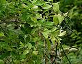 Wrightia tinctoria in Keesaraguda, AP W IMG 9067.jpg