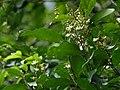 Xanthophyllum flavescens 136220406.jpg