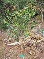 Xylosma hawaiiensis - Koko Crater Botanical Garden - IMG 2260.JPG