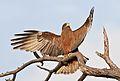 Yellow-billed kite, Milvus aegyptius, at Elephant Sands Lodge, Botswana (31438220183).jpg