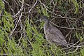 Yellow-crowned Night-Heron (immature) Estero Llano SP Mission TX 2018-03-06 11-22-50 (40743939131).jpg