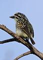 Yellow-fronted tinkerbird, Pogoniulus chrysoconus, at Walter Sisulu National Botanical Garden, South Africa (16006508885).jpg