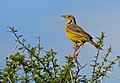 Yellow-throated Longclaw (Macronyx croceus) (11484888103).jpg