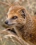 Yellow Mongoose 1 (6964624854)