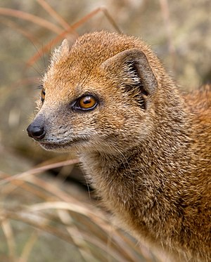 Mongoose - Yellow mongoose, Cynictis penicillata