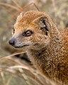 Yellow Mongoose 1 (6964624854).jpg