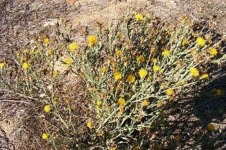 Centaurea solstitialis - Centaurea solstitialis: Yellow star-thistle in California in autumn.