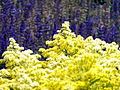 Yellow and Blue Flowers (5942715006).jpg