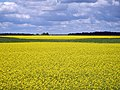 Yellow field Lithuania (7630918330).jpg