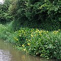 Yellow flag by the Coventry Canal, Bedworth - geograph.org.uk - 1125571.jpg