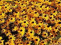Yellow flower in Egregy, 2016 Hungary.jpg