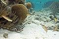 Yellowhead wrasse Halichoeres garnoti (4676844718).jpg
