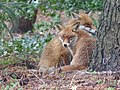 Young Red Foxes Cuddling.jpg