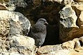 Young feral pigeon -perching in a space between bricks -England-8.jpg
