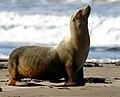 Zalophus californianus - Morro Bay.jpg