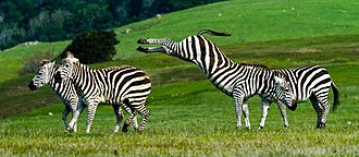 Hearst Castle - Zebras are a popular attraction on the Hearst ranch. They are descendants from Hearst's private zoo.