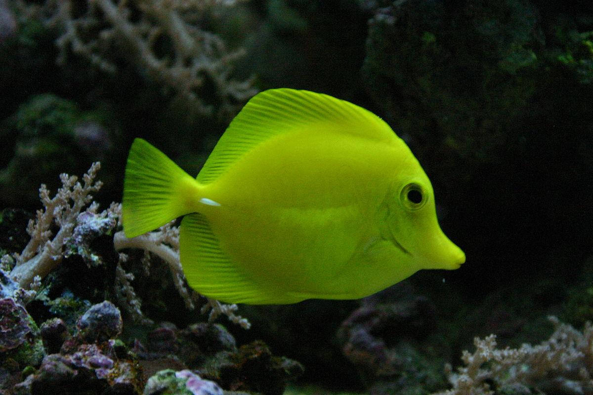 Zebrasoma flavescens - Wikipedia, la enciclopedia libre