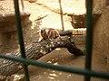 Zoopark Zajezd CZ Caracal caracal eating Rattus norvegicus 040.jpg