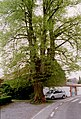 Zottegem Leeuwergem Gentse Steenweg Zevensacramentenboom (4) - 188598 - onroerenderfgoed.jpg