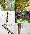 Zygoptera species (10.3897-zoologia.38.e55283) Figures 13–18.jpg
