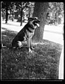 """Alex,"" prize German police dog and pet of Miss Ailsa Mellon, daughter of Treas. smokes cigarettes n'everything. Alex's father is the $12,000 prize police dog ""Wolfe"" LCCN2016893568.jpg"