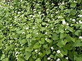 """Jack-by-the-hedge"" or Garlic Mustard - geograph.org.uk - 417433.jpg"