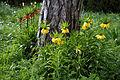 'Fritillaria imperialis' Maximea Lutea at Feeringbury Manor, Feering Essex England.jpg