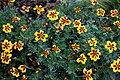 'Tagetes patula' French marigold Tall Scotch Prize Capel Manor Gardens Enfield London England 3.jpg