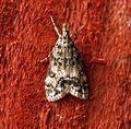 (1338) Dipleurina lacustrata - Flickr - Bennyboymothman (1).jpg