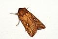(2192) Brown-line Bright-eye (Mythimna conigera) (3753632667).jpg