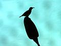 (Leptocoma zeylonica) Purple rumped Sunbird at Madhurawada.jpg