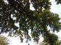 Багатовіковий дуб, Прилуцький район, м. Прилуки,вул. Гірняка,11 (напроти Боброва,35) 74-107-5003 09.jpg
