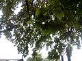 Багатовіковий дуб, Прилуцький район, м. Прилуки,вул. Гірняка,11 (напроти Боброва,35) 74-107-5003 10.jpg