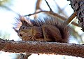 Белка обыкновенная - Sciurus vulgaris - Eurasian Red Squirrel - Обикновена катерица - Eichhörnchen (32858701640).jpg