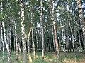 Березовий гай - panoramio (1).jpg