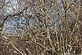 Верба. Около Змиево. Чистопольский р-н. РТ. Апрель 2015 - panoramio.jpg