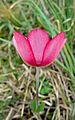 Ветреница павлинья - Anemone hortensis var. pavonina - Broad Leaved Anemone - Червена съсънка (Павонска съсънка) - Stern-Anemone (26672534412).jpg