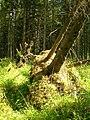 В заболоченном лесу - panoramio - Oleg Seliverstov (1).jpg