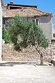 Дубровник. Оливковое дерево. - panoramio.jpg