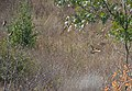 Золотистая щурка - Merops apiaster - European bee-eater - Обикновен пчелояд - Bienenfresser (37020053226).jpg