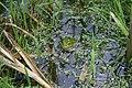 Лягушка прудовая (Pelophylax lessonae).jpg