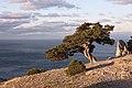 Можжевеловое дерево в Новом Свете.jpg