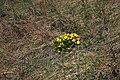 Омелькова гора Горицвіт весняний IMG 1984.jpg