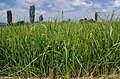 Ориз во Кочанско 05.jpg