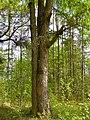Петровщинская лиственничная роща вид с полей.JPG