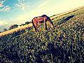 حصان البادية.jpg