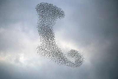 دسته پرندگان بر فراز شهر قم. سارها 22.jpg