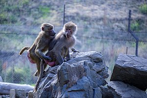 مجموعه عکس از رفتار میمون ها در باغ وحش تفلیس- گرجستان 04.jpg