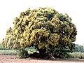 आंबा वृक्ष, किनी सोयगाव जि.औरंगाबाद Magno Tree, Kini Soyegoan Aurangabad (Mangifera Indica).jpg