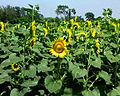 सूर्यमुखी फूल.jpg
